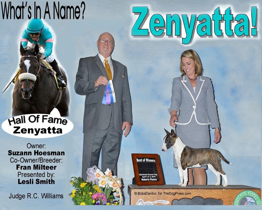 """Miniature Bull Terrier """"Zenyatta"""" is a Winner!"""