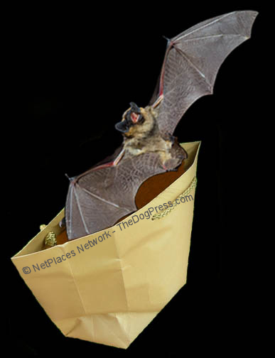 THE BAT'S OUT OF THE BAG: Do bats carry rabies? Should we rush to get rabies shots?