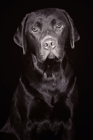 Showring Labradors have evolved into a different type than field dogs
