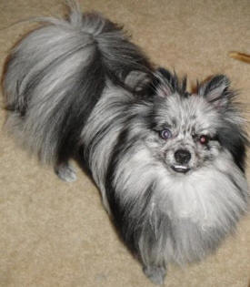 Chocolate, sable, or blue merle pattern can bring health issues into the Pomeranian