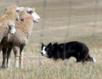 Herding breeds are great with kids but some can be too bossy for small children.