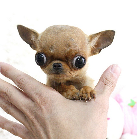 Tea Cup Chihuhuas are fragile, fraught with health problems and difficult to breed