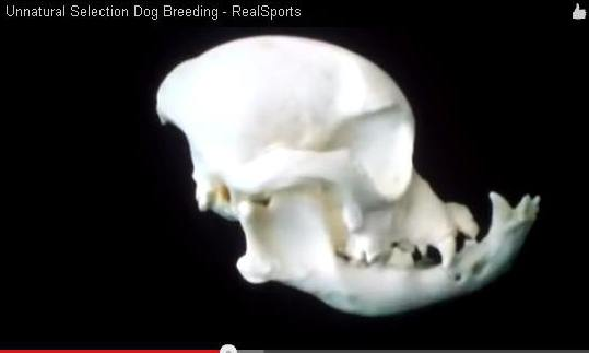 This is a Bulldog's skull today, see the video for time-lapse photos
