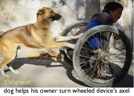 dog helps his owner turn wheeled device's axel