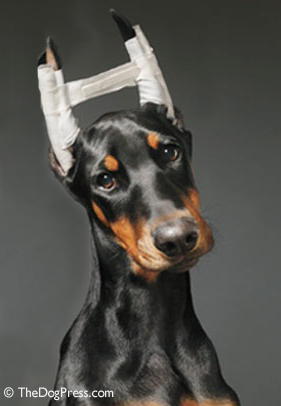 Ear Cropping And Tail Docking Effects Thedogpress