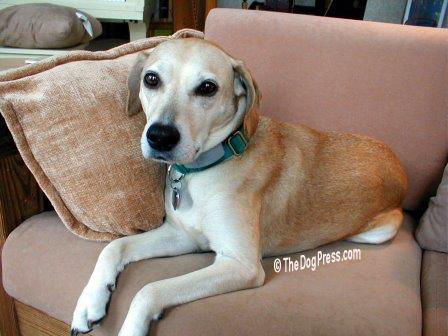 The shelter said he was a Beagle-Labrador mix, what AKC calls the ALL AMERICAN DOG.