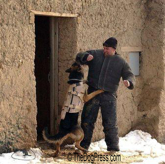 Military dog attack exercise in Afghanistan Wiki