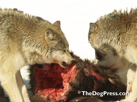 """His """"resource guarding instinct"""" is superior to the long domesticated dog. A wolf will threaten anything approaching its kill. Wolves have never-ending competition for food and social rank."""
