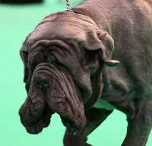This ancient breed is ugly by all but show ring Breed Standards.  His head and wrinkles have been deliberately changed by genetic manipulation without regard to skin and overall health problems.