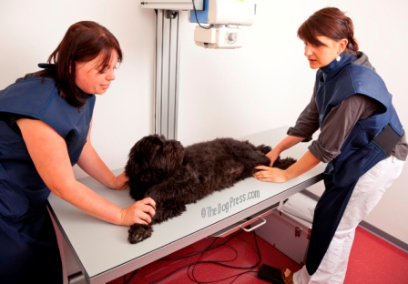 hip x-rays and other radiographic diagnostics can affect canine health